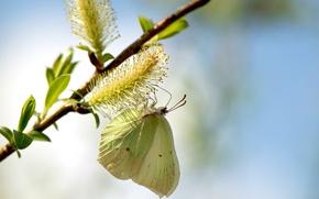 Картинка листья, макро, природа, бабочка, весна, верба