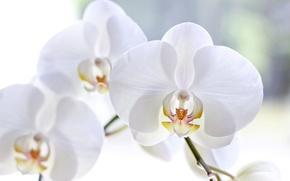 Картинка макро, цветы, лепестки, белые, орхидеи, фаленопсис