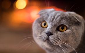 Обои кошка, взгляд, мордочка, Шотландская вислоухая кошка, скоттиш-фолд, кот