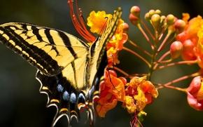 Картинка цветы, бабочка, оранжевые, махаон, Papilіo machaon