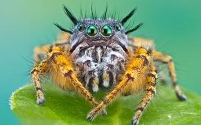 Обои макро, паук, мохнатый, джапер