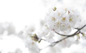 Обои нежность, макро, цветы, ветка, свет, цветение, белые, цвет, лепестки, сакура, вишня, весна