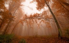Картинка лес, листья, деревья, туман, Осень