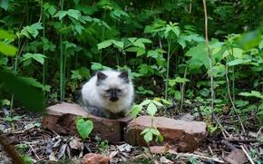 Картинка пушистый, в траве, Котёнок, сиамский