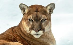 Картинка взгляд, хищник, пума, дикая кошка, горный лев, кугуар