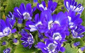 Картинка макро, цветы, синие, Flowers, blue, macro