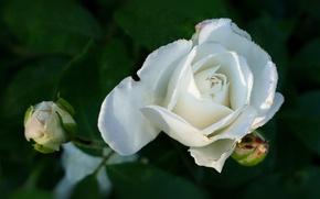 Картинка капли, роза, бутон, белая