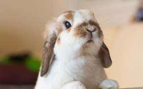 Обои взгляд, мордочка, кролик