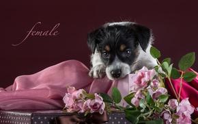 Картинка розы, щенок, ткань, джек-рассел-терьер