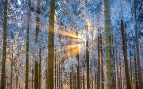 Обои лес, деревья, свет, зима