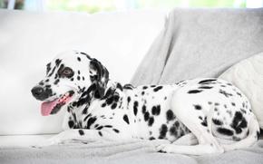 Картинка собака, далматин, dog, dalmatian