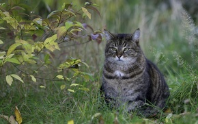 Картинка трава, кот, взгляд, листья, серый, куст