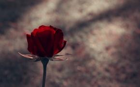 Картинка цветок, цветы, роза, лепестки, стебель, бутон, flowers