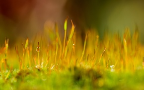 Картинка капли, макро, природа, роса, растение, мох