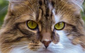 Картинка кот, взгляд, морда, кошак, котяра