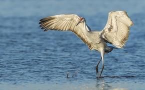 Картинка вода, птица, крылья, Канадский журавль