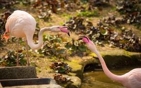 Картинка птицы, парочка, фламинго, розовые фламинго