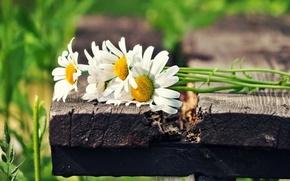 Картинка белый, солнце, цветы, зеленый, фон, widescreen, обои, ромашки, wallpaper, цветочки, широкоформатные, flowers, background, полноэкранные, HD …
