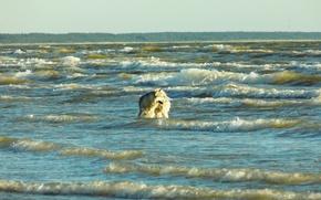 Картинка Закат, Море, Собака, Волны