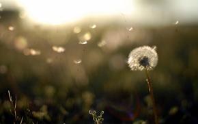 Обои wallpapers, фон, растения, природа, одуванчик, обои, вечер, поле, легкость, закат, пушинки