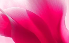 Обои краски, цикламен, лепестки, цветок, альпийская фиалка