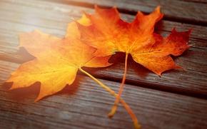 Картинка осень, листья, макро, свет, доски, два, клёна