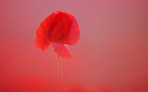 Картинка цветок, фон, мак, лепестки