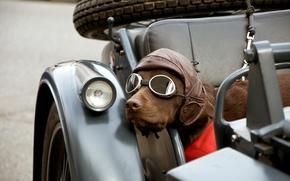 Картинка собака, очки, мотоцикл, каляска