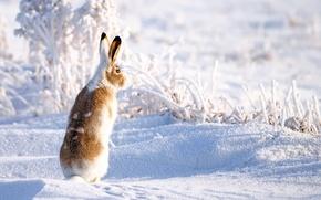 Обои заяц, снег, зима