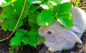 Картинка листья, земля, Кролик, зелень., виктория