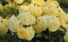 Обои розы, много, желтый, цветы, фото