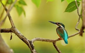 Картинка листья, дерево, птица, ветка, зимородок