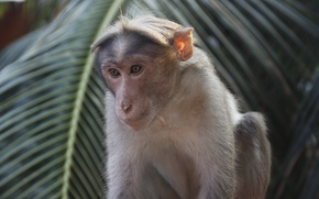Картинка пальма, животное, обезьяна