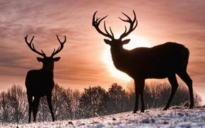 Картинка зима, солнце, олени