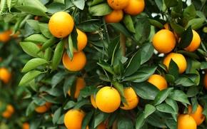 Картинка листья, дерево, апельсин, плоды, цитрус, фрукты