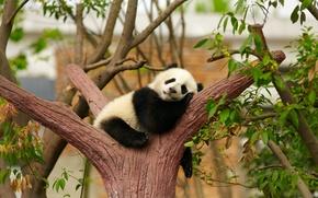 Картинка дерево, отдых, сон, мишка, панда, спит, детёныш
