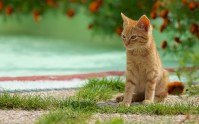 Картинка зелень, кошка, лето, трава, цветы, котенок, фон, рыжий, милый, сидит