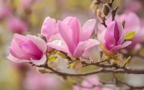 Обои макро, розовый, ветка, весна, магнолия