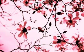Картинка цветы, природа, ветви, розовый, лепестки, Магнолия, ветки, весна