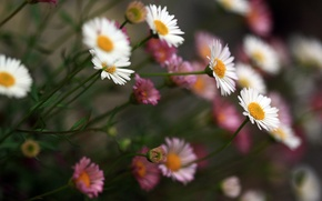 Картинка цветы, розовые, белые, красивые