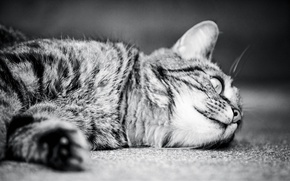 Картинка кошка, monochrome, монохром, cat, кот