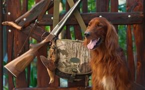 Картинка собака, утро, винтовка, лавочка, амуниция, ружье, сумка, охота, камуфляж, сеттер, ирландский, природа, beautiful background, красивый …