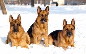 Картинка собака, троица, снег, собаки, зима, овчарка