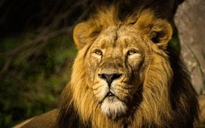 Картинка морда, портрет, хищник, лев, грива, дикая кошка