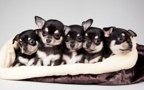 Картинка щенки, милые, квинтет
