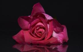 Картинка цветы, роза, лепестки, бутон