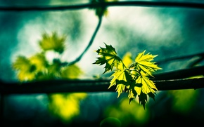 Картинка зелень, листья, природа, ветка, клен