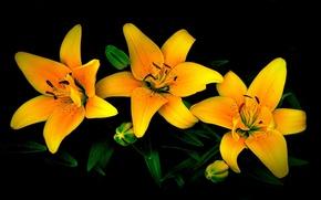 Картинка листья, цветы, лилии, лепестки