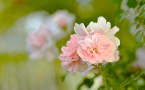 Картинка нежность, красота, макро, цветы, сад, природа, розы, листья, размытость, лепестки, зелень, куст, розовые, зеленые, бутоны