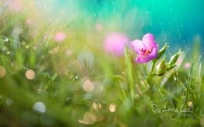 Картинка цветок, трава, капли, дождь, боке